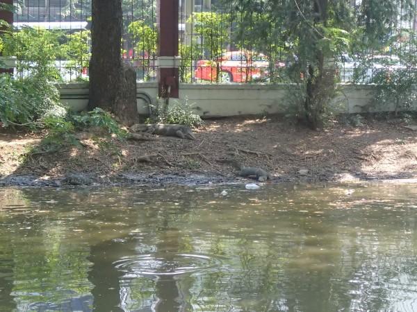 Varaner i Lumpini park