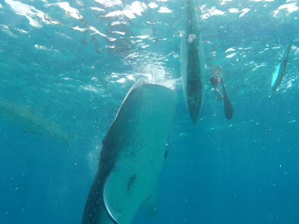 Svømme med hvalhajer
